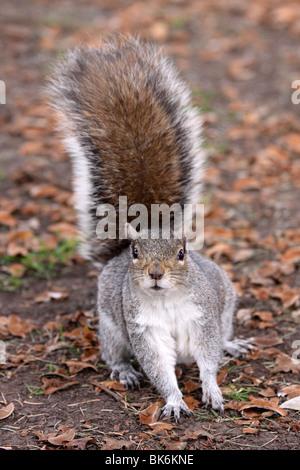 L'écureuil gris Sciurus carolinensis curieux pris dans Grosvenor Park, Chester, Royaume-Uni Banque D'Images