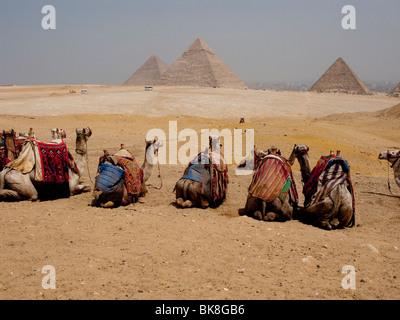 Les chameaux assis dans une rangée près du Grand Pyramids, Giza, Cairo, Egypt Banque D'Images
