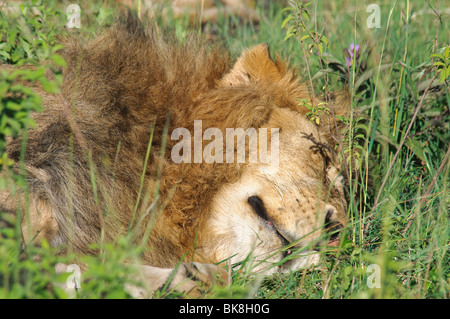 Lion Panthera leo sleeping in grass Banque D'Images