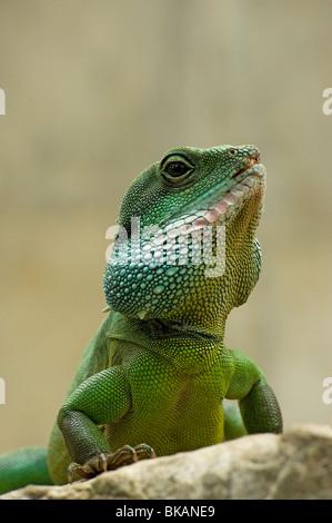 Chinese Dragon d'eau, Physignathus cocincinus Banque D'Images