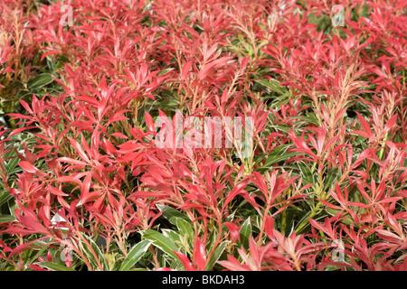 Pieris japonica 'flaming Silver' Banque D'Images