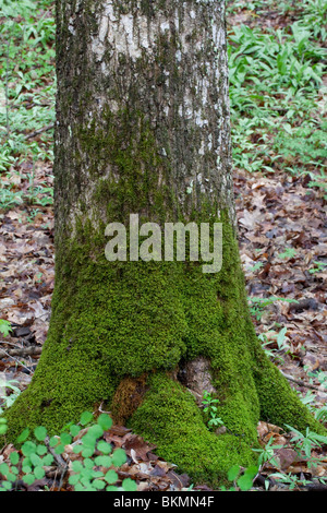 Mousse tapis growing on tree trunk la forêt de feuillus est des États-Unis Banque D'Images