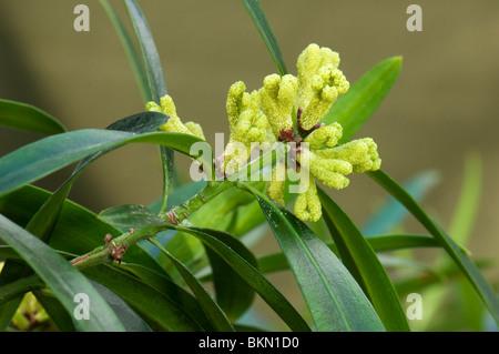 Big Leaf Yew (Podocarpus macrophyllus pin), branche avec fleurs mâles.
