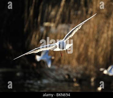 Mouette noir planeur sur un lac en hiver Banque D'Images