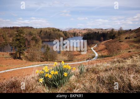 Coniston, Cumbria, Angleterre, Royaume-Uni, Europe. Les jonquilles sauvages et vue sur Tarn Hows dans le Parc National du Lake District au printemps