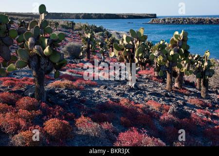 Îles Galápagos, d'énormes arbres cactus rouge et le coucal poussent sur l'île du sud de la toundra autrement Plaza.