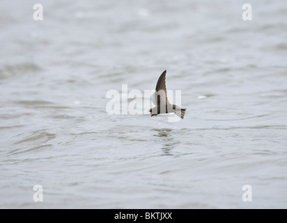 Snavel vliegend Gierzwaluw rencontré ouvrir en fouragerend Boven het water staat op het punt om een te insectes Banque D'Images