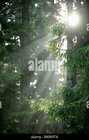 La lumière du soleil dans le bois 1100 Banque D'Images