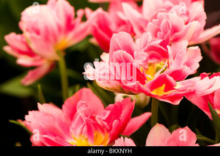 Tulipe Double 'Peach Blossom' en fleurs Banque D'Images