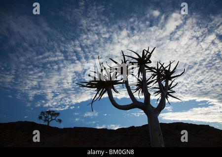Quiver Tree (Aloe dichotoma), Parc National d'Augrabies Falls, dans le Nord de la Province du Cap, Afrique du Sud Banque D'Images
