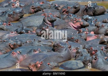 Baby hippo, debout au milieu d'un troupeau (Hippopotamus amphibius), Masai Mara National Reserve, Kenya, Africa Banque D'Images