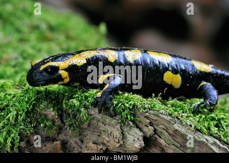 European / Fire salamander (Salamandra salamandra) sur la mousse, Luxembourg Banque D'Images