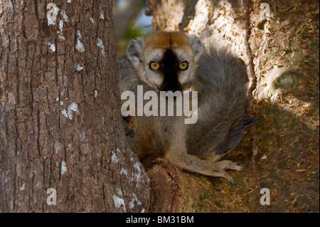 À la façade rouge lémurien brun (eulemur rufus), Madagascar Banque D'Images