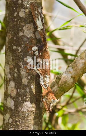 Gecko à queue de feuille moussus (Uroplatus sikorae), Madagascar Banque D'Images