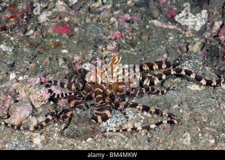 Wonderpus Wunderpus photogenicus, Octopus, le Détroit de Lembeh, au nord de Sulawesi, Indonésie Banque D'Images