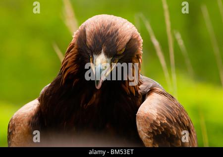 Portrait d'aigle d'or Banque D'Images