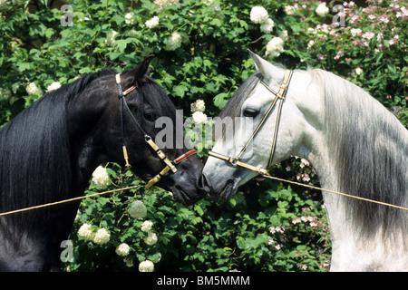 Paso Fino (Equus ferus caballus), deux étalons nez à nez. Banque D'Images