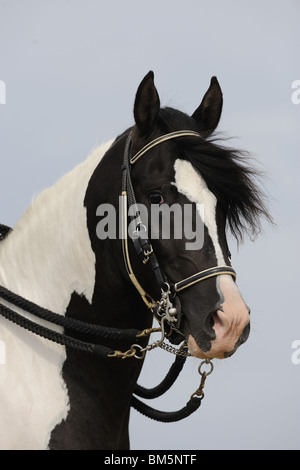 Paso Fino (Equus ferus caballus). Portrait d'un étalon. Banque D'Images