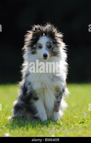 Sheltie, Shetland Sheepdog (Canis lupus familiaris), adulte assis sur une pelouse. Banque D'Images