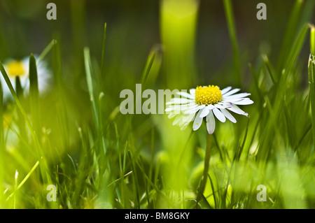 Daisy Banque D'Images