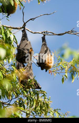 Renard volant à tête grise, Pteropus poliocephalus Botanical Gardens Sydney Australie Banque D'Images