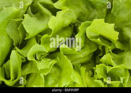 Gros plan d'une laitue fraîche fond vert Banque D'Images