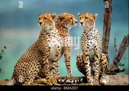Les guépards au Kenya, Afrique. Banque D'Images