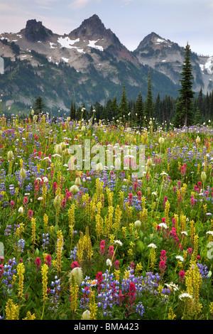 Le mont Rainier Natl Park, WA Sommets du Tatoosh Range au-dessus d'une prairie de fleurs sauvages alpines luxuriantes Banque D'Images