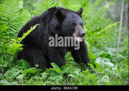 L'ours noir en Prairie, Minnesota, USA