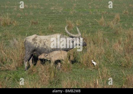 Buffle d'Asie sauvage allaitant son petit, Bubalus arnee, Inde Banque D'Images