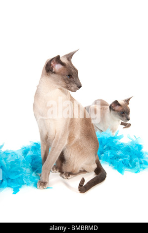 Deux chats siamois avec plumes bleu isolated over white Banque D'Images