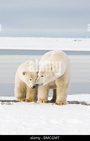 L'ours blanc, Ursus maritimus, semer avec un 2-year-old cub le long d'une barrière île au cours de l'automne gel, Bernard Spit, Alaska