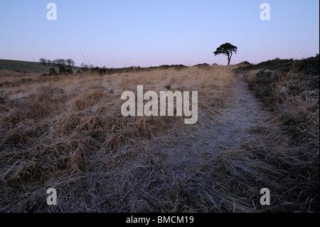 Un chemin menant à un seul le pin sylvestre (Pinus sylvestris) près de Priddy étang, Somerset. Banque D'Images
