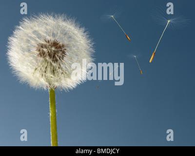 Tête de pissenlit close up avec graines ajoutée numériquement sur un ciel bleu. Banque D'Images