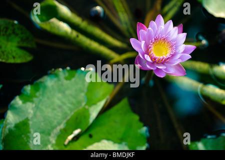 Fleur de Lotus dans l'étang Banque D'Images