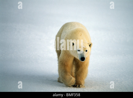 L'ours polaire, Cape Churchill, Manitoba, Canada. Banque D'Images