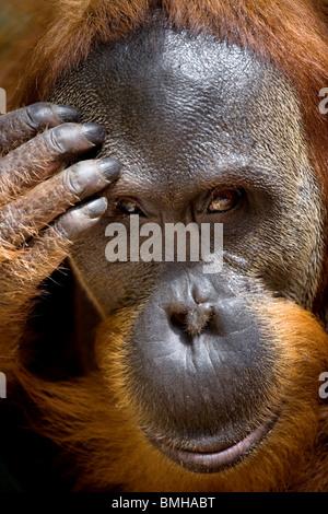 Portrait de jeune homme l'orang-outan, parc national de Gunung Leuser, Sumatra, Indonésie. Banque D'Images