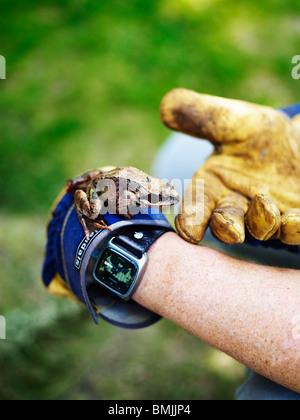 La Scandinavie, la Suède, la grenouille sur la main de l'homme, close-up Banque D'Images