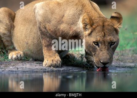 Le Botswana, Moremi, Lioness (Panthera leo) Boissons à partir de la piscine le long de la rivière Khwai tôt le matin