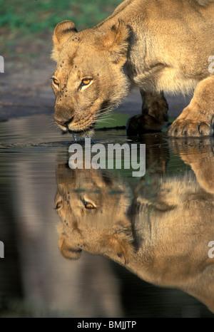 Le Botswana, Moremi, Lioness (Panthera leo) Boissons à partir de la piscine par Khwai River tôt le matin