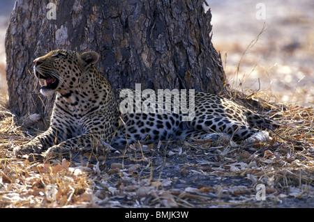 Le Botswana, Moremi, mâle adulte, Leopard (Panthera pardus) repose à l'ombre de l'arbre près de la rivière Khwai Banque D'Images