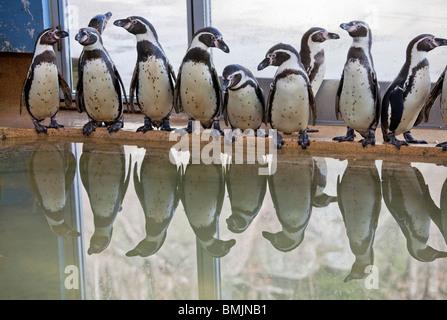 Péninsule scandinave, en Suède, Göteborg, Slottsskoge, vue de pingouins debout sur un
