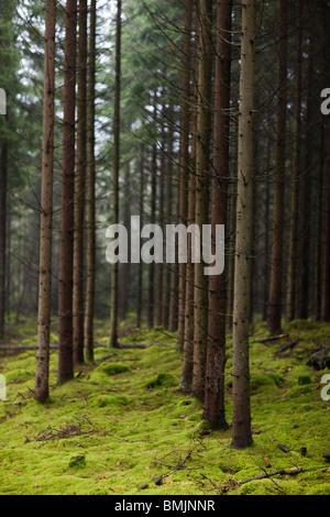 Péninsule scandinave, en Suède, Malmö, Vue des conifères dans la forêt Banque D'Images