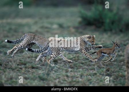 Afrique, Kenya, Masai Mara, Cheetah cubs (Acinonyx jubatas) chase la Gazelle de Thomson sur fauve savanna Banque D'Images