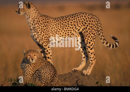 Afrique, Kenya, Masai Mara, femelle adulte Guépard (Acinonyx jubatas) se distingue avec cub sur savanna Banque D'Images