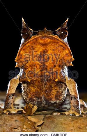 Portrait de grenouille cornue entre dans la litière de feuilles sol forestier, prises de nuit. Danum Valley, Sabah, Banque D'Images