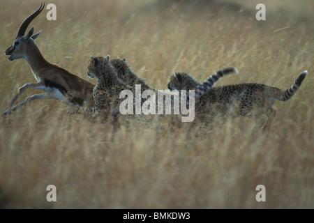 Afrique, Kenya, Masai Mara, Cheetah cubs (Acinonyx jubatas) chasser la Gazelle de Thomson s'en prennent à savanna Banque D'Images
