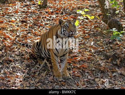 Tigre mâle assis et à la recherche jusqu'à Bandhavgarh National Park, Inde Banque D'Images