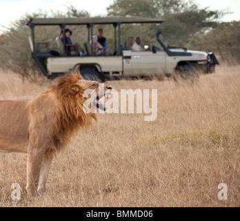 Les touristes en Safari à la recherche à un mâle adulte lion (Panthera leo) dans la région de Savuti du Botswana. Banque D'Images