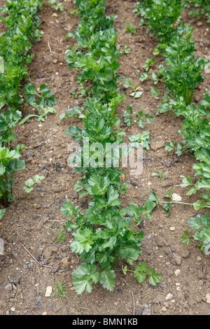 Le céleri-rave (Apium graveolens var rapaceum) plantes Monach en lignes Banque D'Images